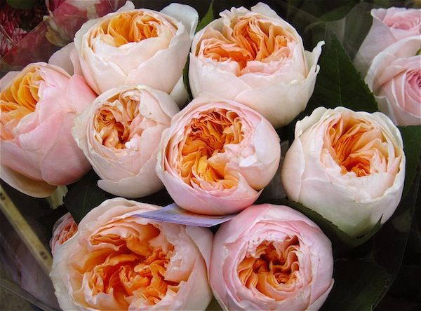 reception love the pinkorange blooms peach garden roses - Garden Rose