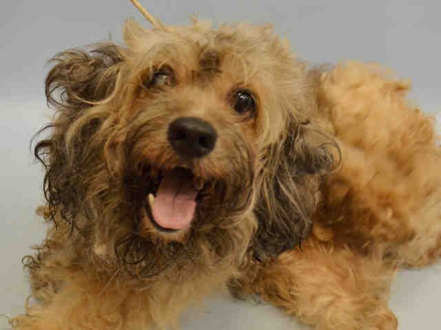 SAFE 6-29-2015 by Rescue Dogs Rock NYC --- Manhattan Center NEMO – A1041688  MALE, BROWN / WHITE, POODLE MIN MIX, 6 yrs OWNER SUR – EVALUATE, NO HOLD Reason OWNER SICK Intake condition EXAM REQ Intake Date 06/27/2015