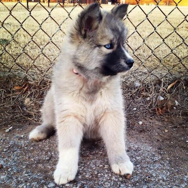 Cute Emergency On Husky Cute Animals Dogs Puppies