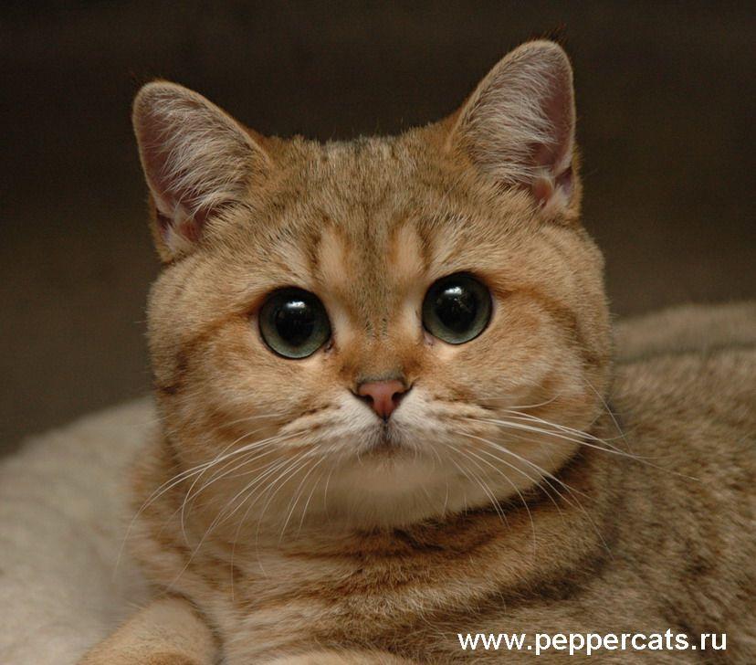 Golden Shaded British Shorthair Cats Fancy Cats British