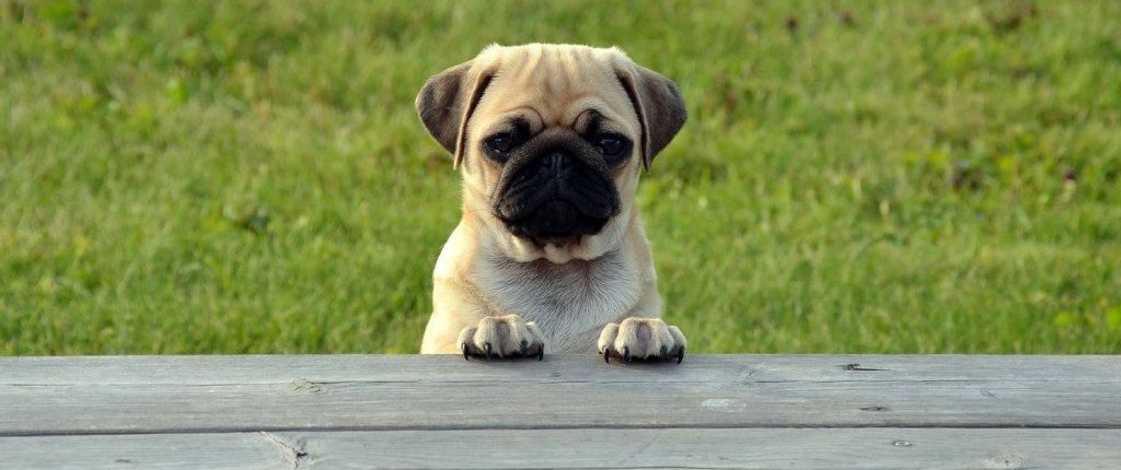 Pug Origins Revealed A Short History Of The Pug Breed Pug