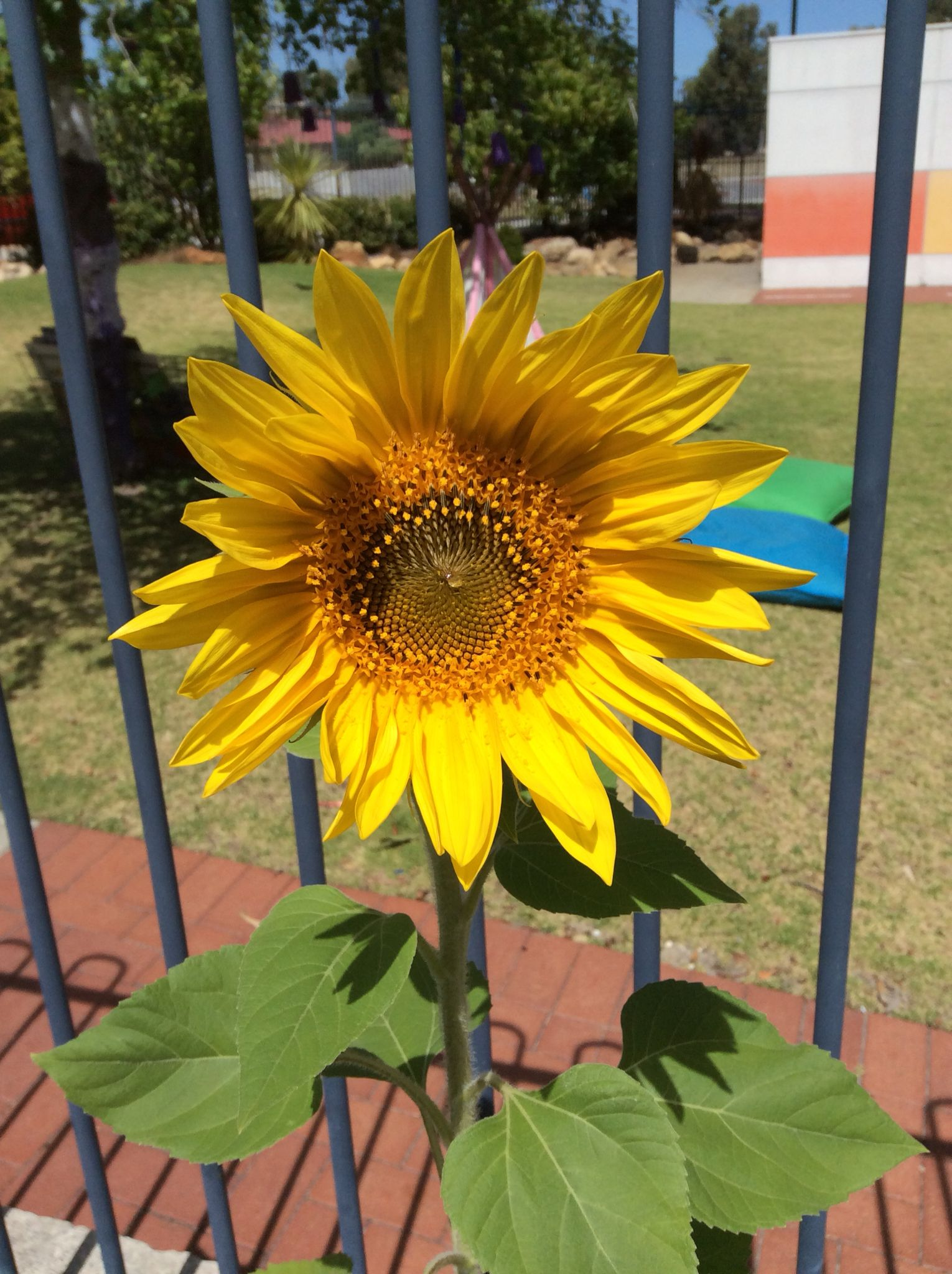 Growing Sunflowers With Images Growing Sunflowers Veggie Garden
