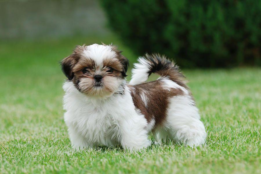 Shihtzu Puppiesrule Tiny Friends Shih Tzu Puppy Shih Tzu Dog