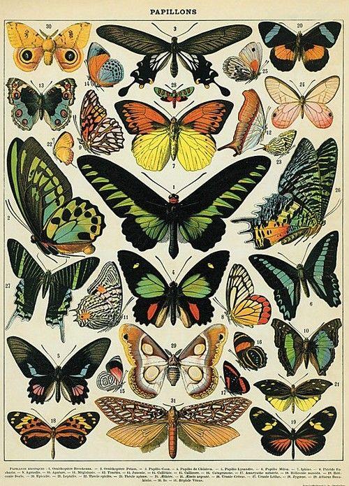 Butterflies poster by cavallini & co | mariposas | Pinterest ...