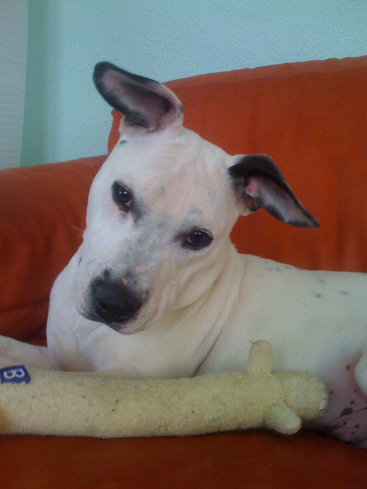 Bear jack russell dalmatian puppy dalmatian puppy