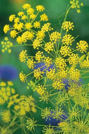 Dill for the Anise Swallowtails to lay their eggs on!