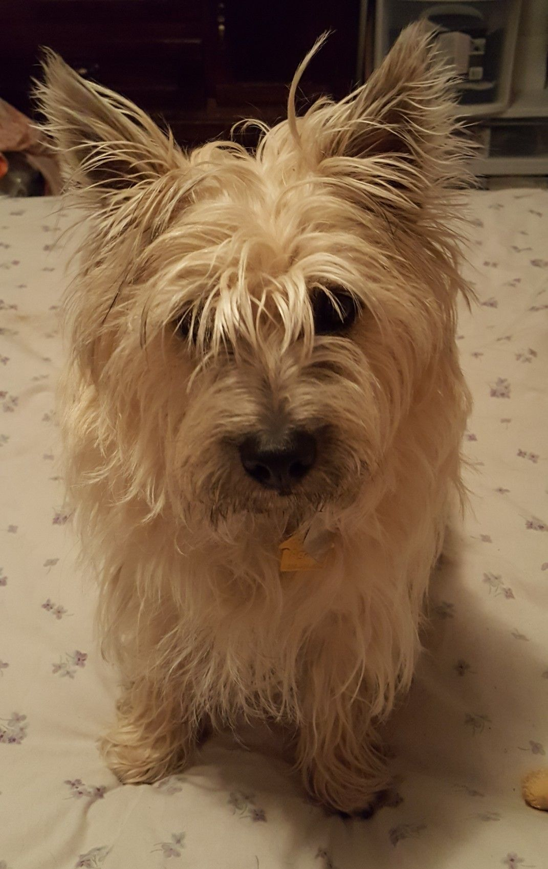 Pin By Nicole Rondinelli On Ricky Cairn Terrier Norwich Terrier