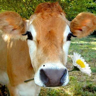 """""""Miss Daisy""""! wow!!! that was the name of my cow...in real life on the farm 1953 woohoo <3"""