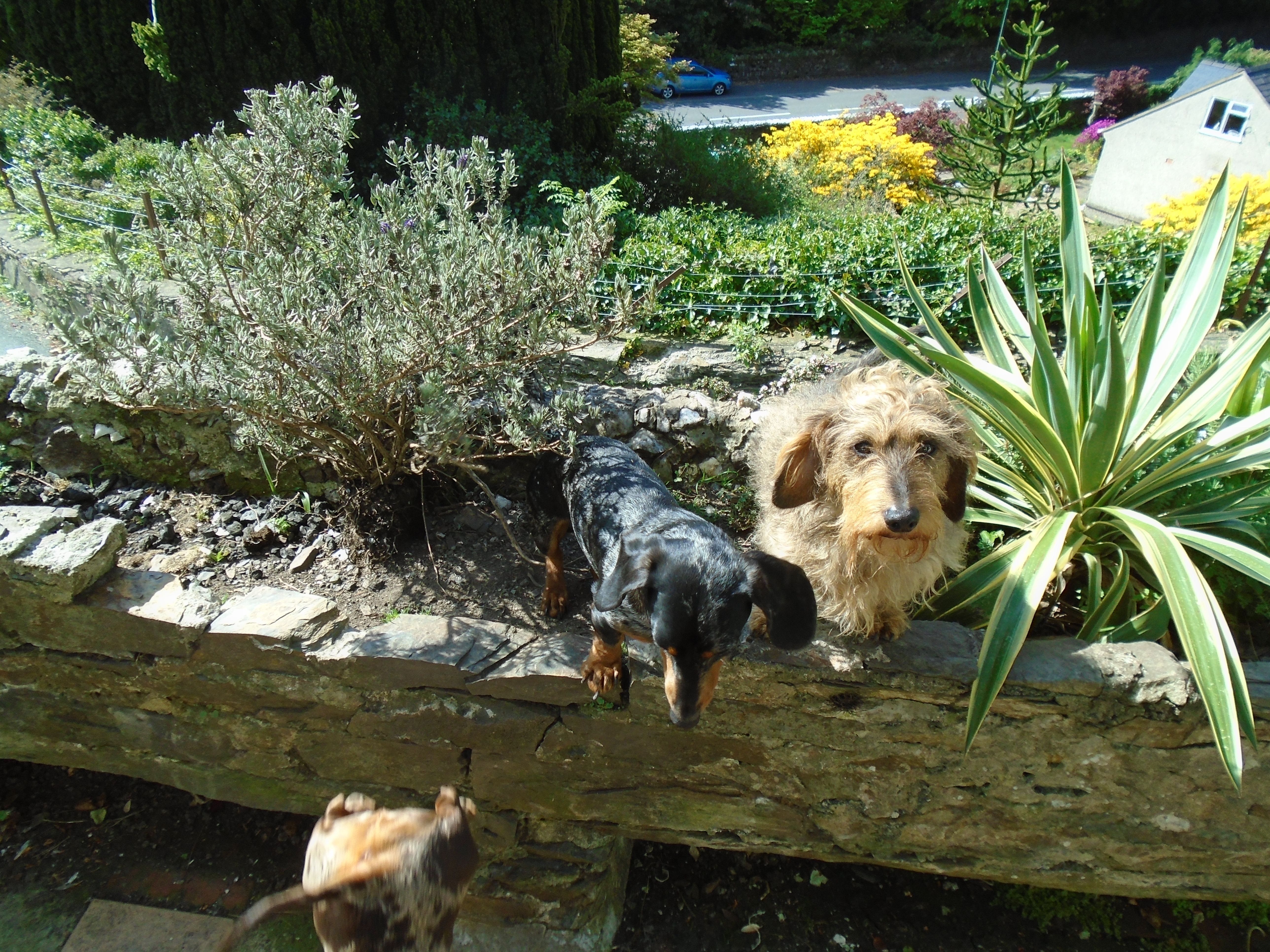 Paddy and Pippin...and Hattie's bottom! Three of our Dachshunds.