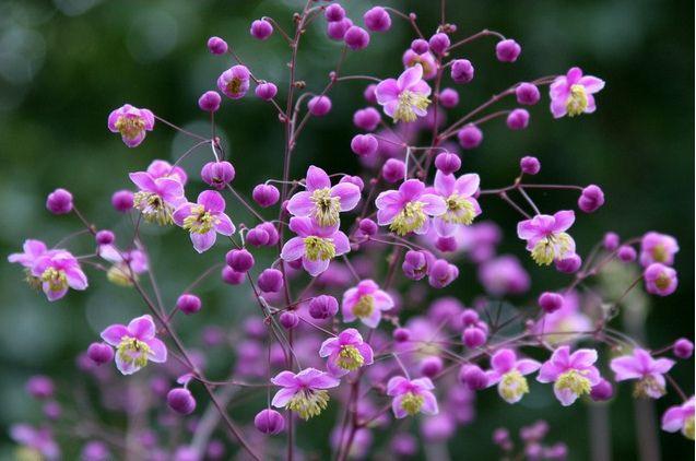 Japanese Sweet Pea Bi Color White Purple Bicolor