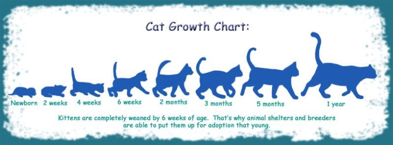 Cat Kitten Growth Chart Cats Pinterest Cats Kittens And
