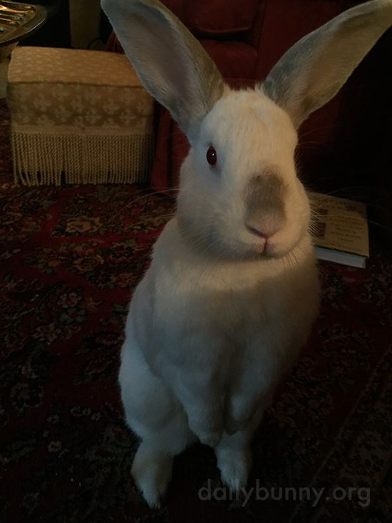 Bunny Very Intently Watches His Human in Hopes of a Treat