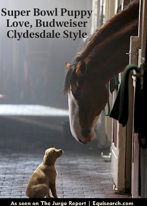 Yellow Lab Puppy And Budweiser Clydesdale In Upcoming
