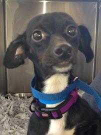 Petango Com Meet Camelot A 3 Years Chihuahua Short Coat Mix Available For Adoption In Tampa Fl Dog Adoption Animal Companions Beautiful Dogs