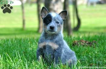 Page Not Found Heeler Puppies Blue Heeler Puppies Australian Cattle Dog Puppy