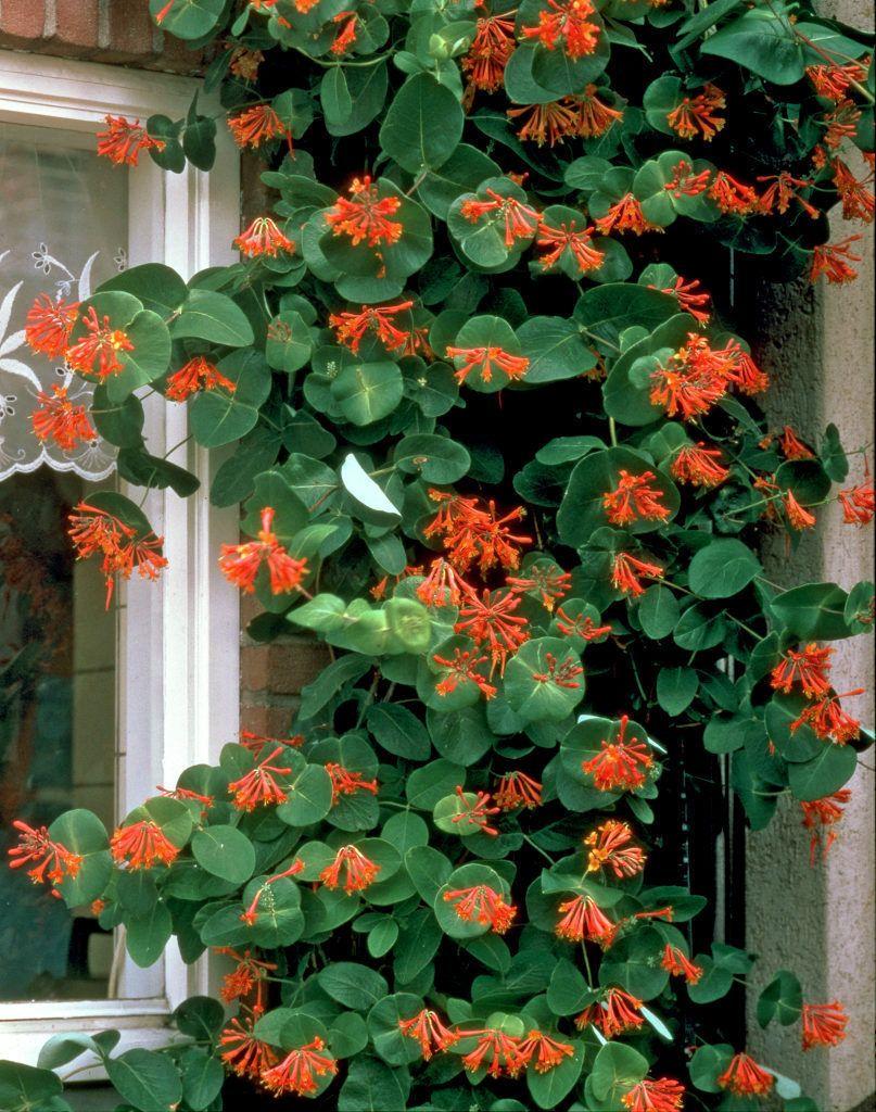 lonicera x brownii 39 dropmore scarlet 39 kletterpflanzen. Black Bedroom Furniture Sets. Home Design Ideas