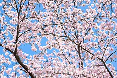 沢山の花をつけた桜の枝