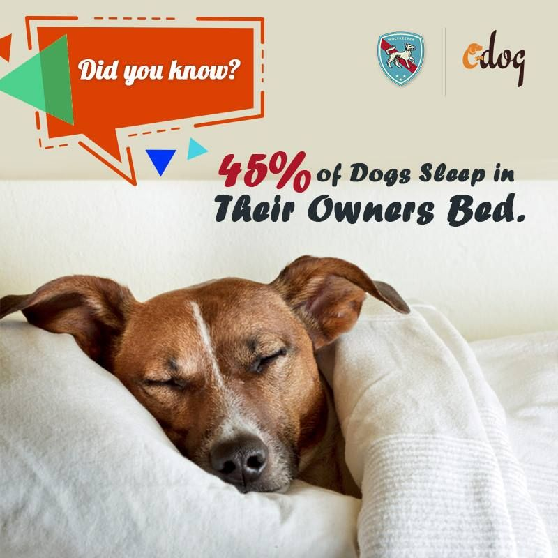 Did You Know 45 Of Dogs Sleep In Their Owners Bed Dog Dogs