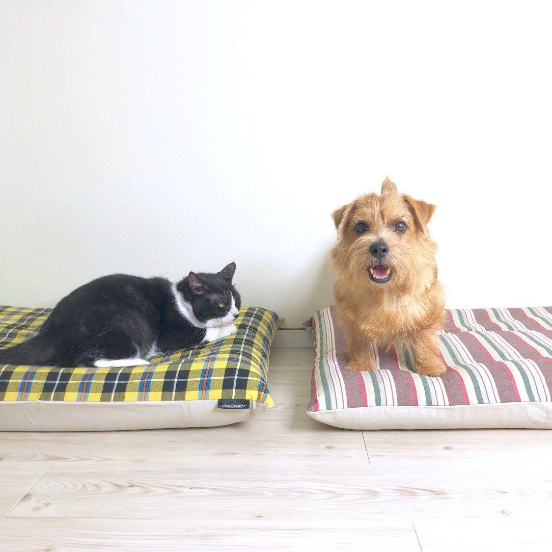 後輩ができて嬉しそう 犬のベッド アンベルソ公式ブログ 今日はメンちゃんが張り切ってももクロちゃんの社員教育を担当しています 後輩ができて嬉しそうです 犬 大型犬 小型犬