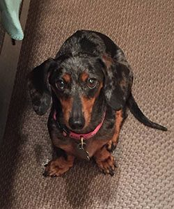 Dachshund Rescue Of Houston Dogs In Our Care Dogs Dachshund