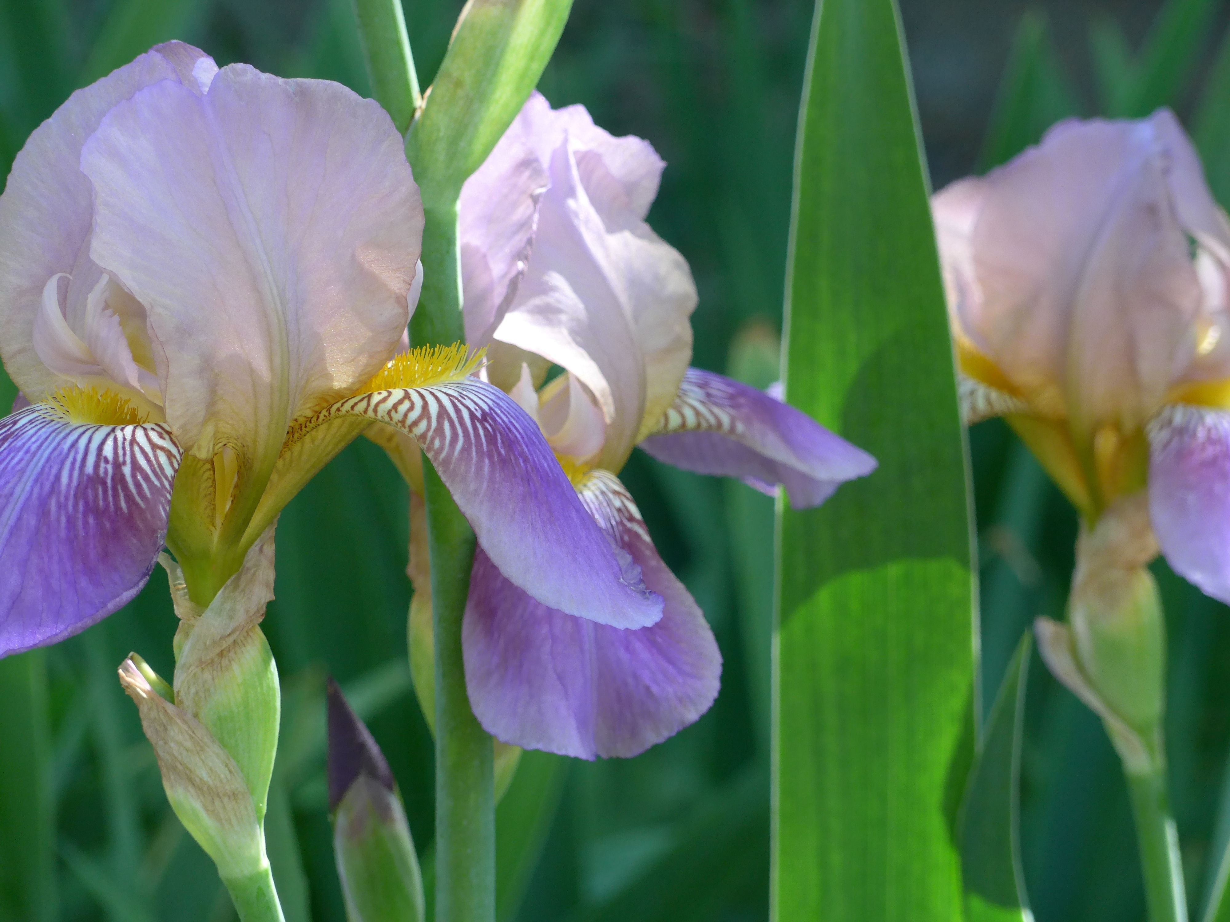 The mix of lavender and yellow in these irises is an ideal spring the mix of lavender and yellow in these irises is an ideal spring combination izmirmasajfo