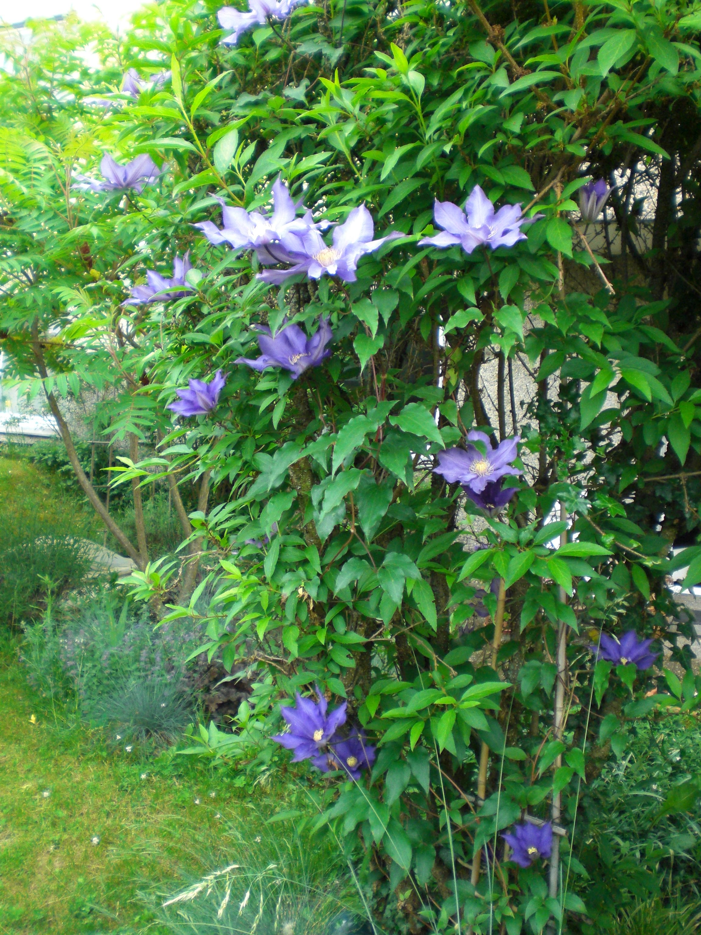 Clematis Climbing Into A Forsythia Clever Way To Have Flowers