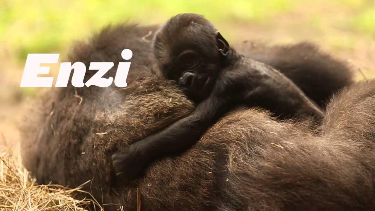 Busch Gardens Facebook Fans have named the baby gorilla Enzi, which ...
