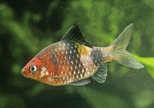 Black Ruby Barb Pethia Nigrofasciata Freshwater Aquarium Fish Tropical Fish Tanks Aquarium Fish