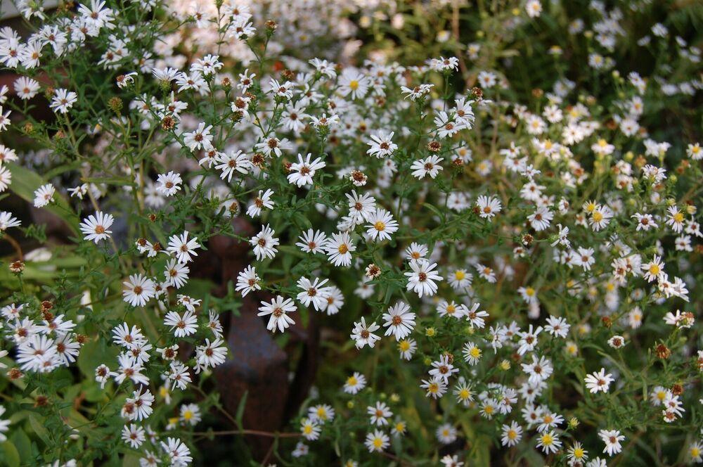 Wild Aster Flower Plant White Aster Flower Planting Flowers Flower Garden Plants