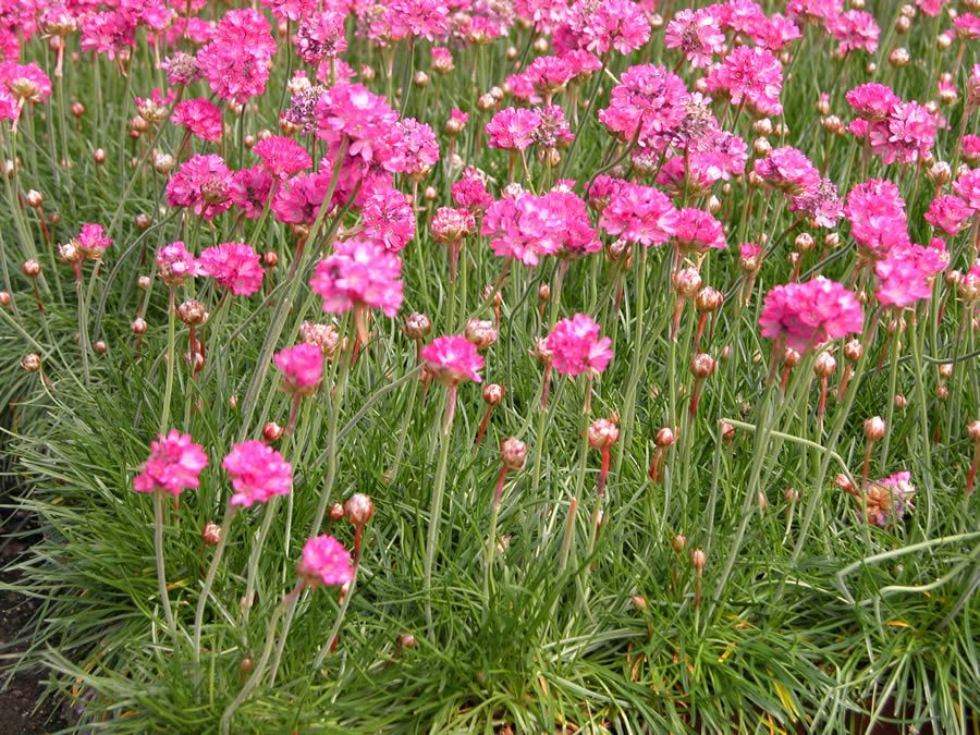 Sea pink dusseldorf pride evergreen clumps with rose pink flowers sea pink dusseldorf pride evergreen clumps with rose pink flowers stay only 6 mightylinksfo Image collections