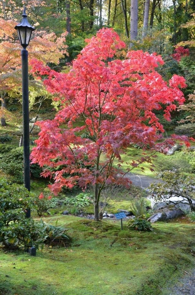 You can buy Acer palmatum Osakazuki Japanese maple online mail-order. Osakazuki is a gorgeous Japanese maple. A purchase of an Osakazuki Japanese maple is a true investment in your yard! Acer palmatum 'Osakazuki' is the right Japanese maple for you. Buy this Exceptional Fall color Osakazuki Japanese maple tree online with confidence at our online Japanese maple store. #JapaneseGardenDesignboulders #japanesemaple