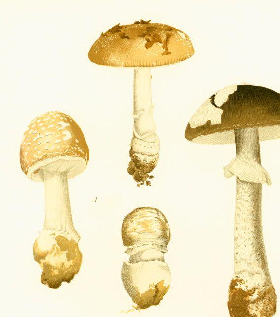 Amanite panthère Champignons Planche Originale Atlas Botanique Decor Vintage