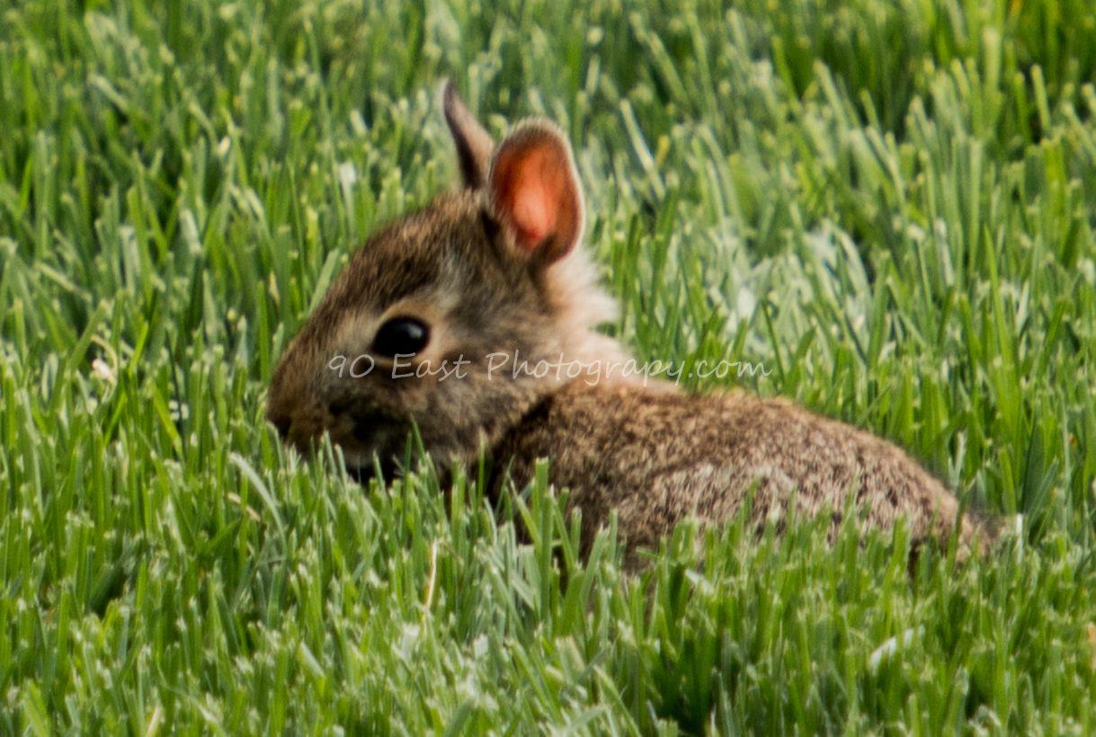 Baby bunny in the backyard | Baby bunnies, Animals, Wildlife