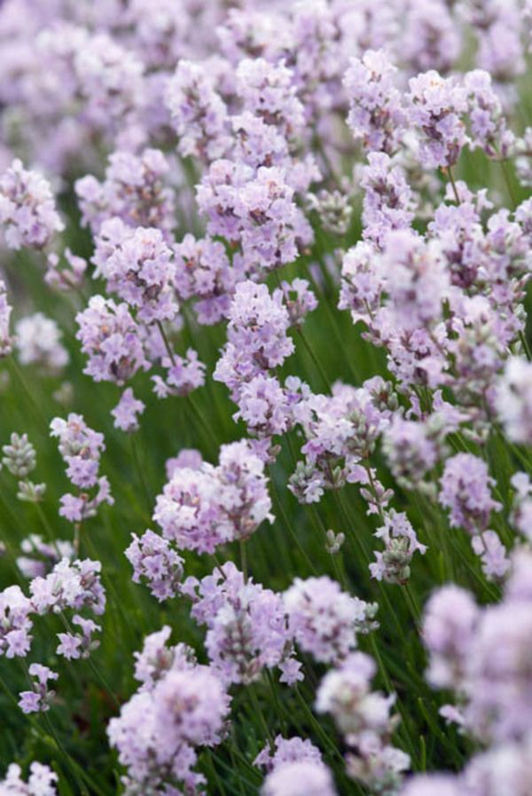 ery fragrant English Lavender Little Lottie also sold as