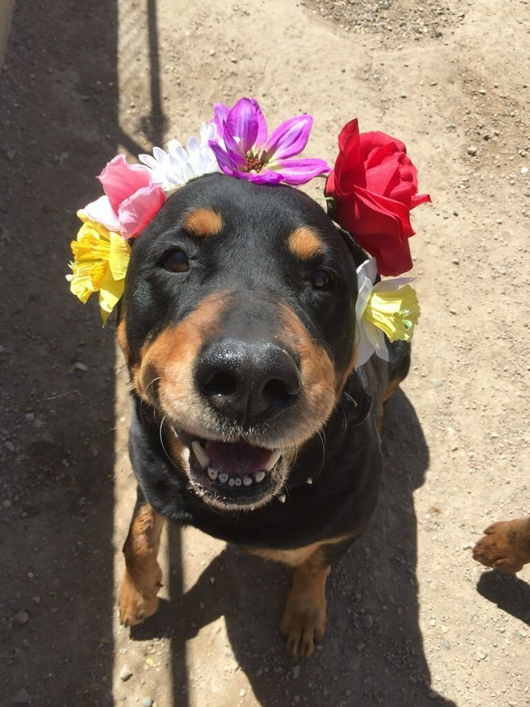 June carter is an adoptable rottweiler searching for a