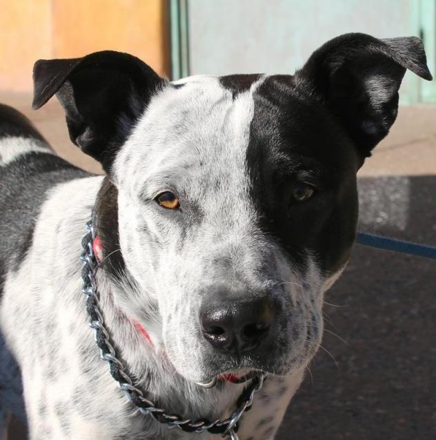 Adopt Champ On Pitbull Terrier Bull Terrier Mix Terrier Mix