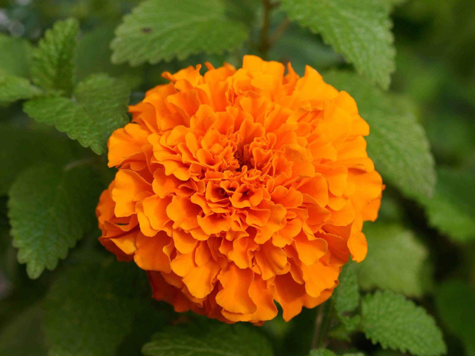 Marigold Flowers Desktop Backgrounds, MarigoldFlowers ...