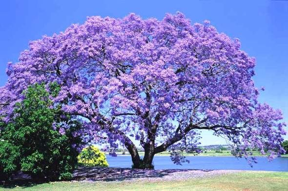 árbol De Colores Arboles De Colores Arboles Para Jardin Jacarandas
