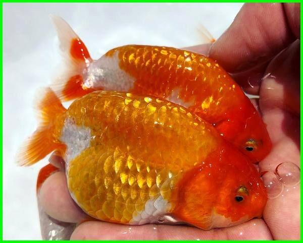 Ikan Mas Koki Ranchu Ikan Pinterest