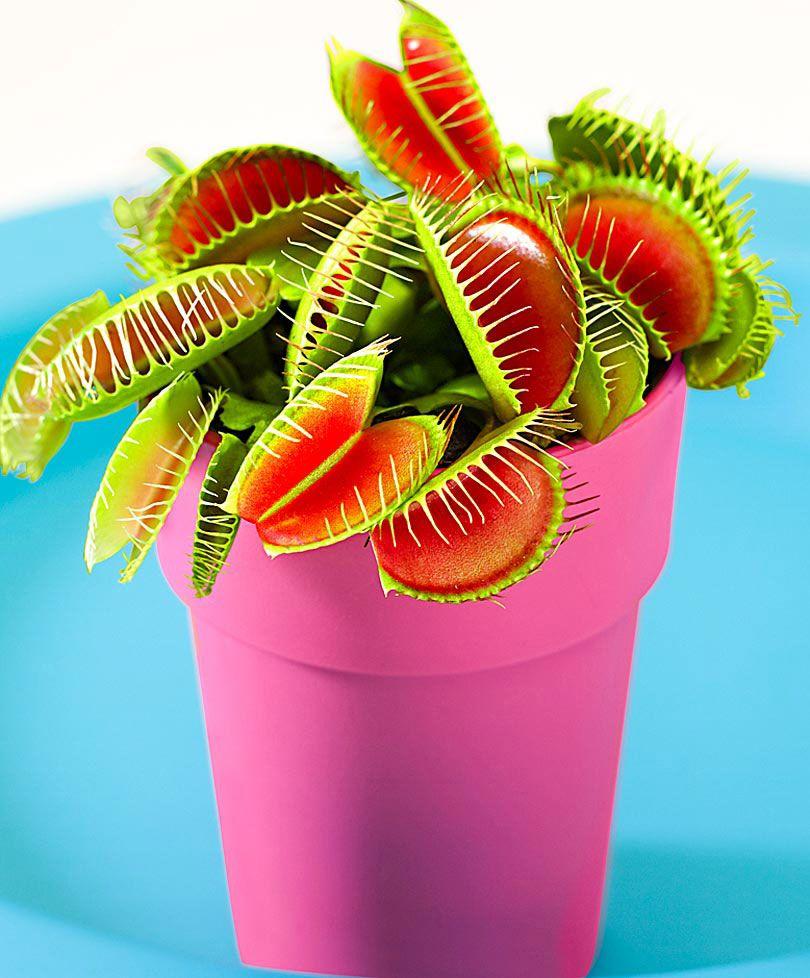 attrape mouches plante carnivore plantes bakker france plants plante carnivore plante. Black Bedroom Furniture Sets. Home Design Ideas