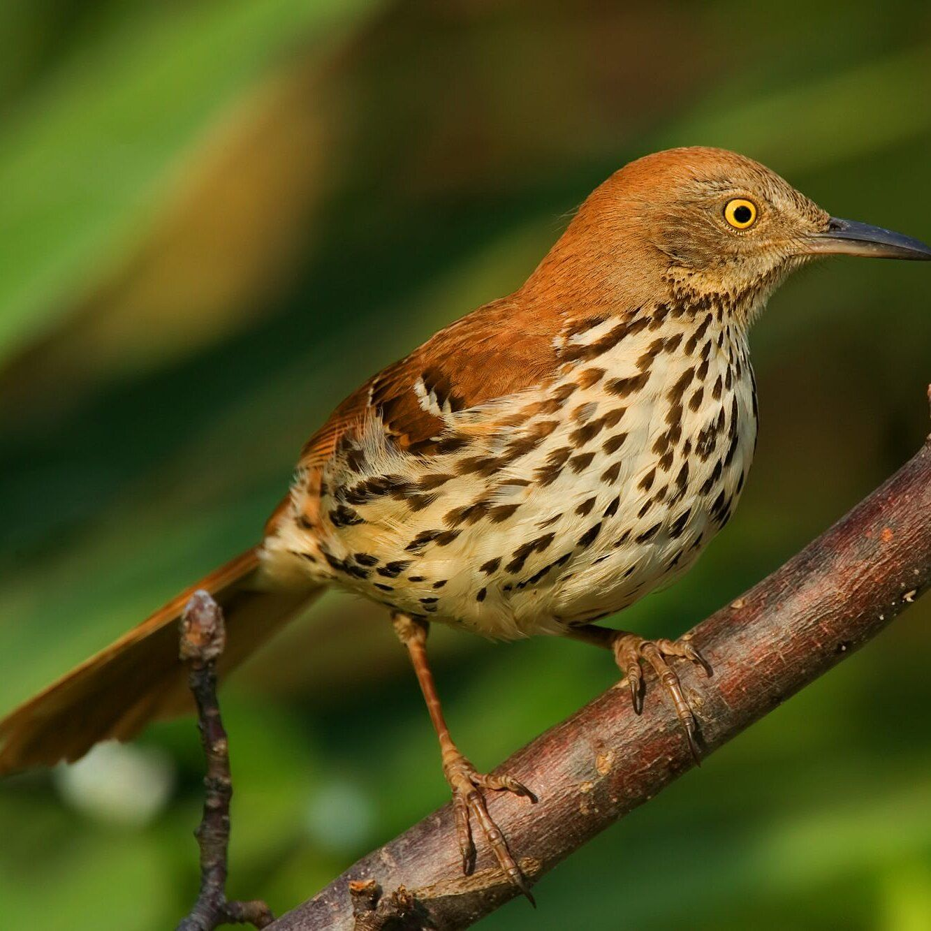 Our Favorite Southern Songbirds Birds Of Georgia Brown Thrasher
