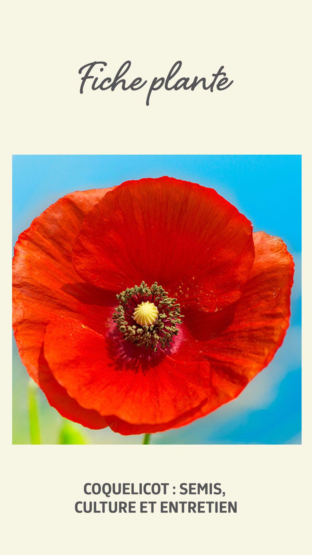 Planter Des Coquelicots Dans Son Jardin emblème du dynamisme de la nature, le coquelicot s'invite