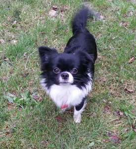 Chihuahua Dog For Adoption In Seattle Wa Adn 706129 On