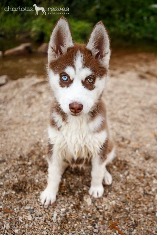 Siberian Husky Puppy 12 Husky Puppy Husky Puppies