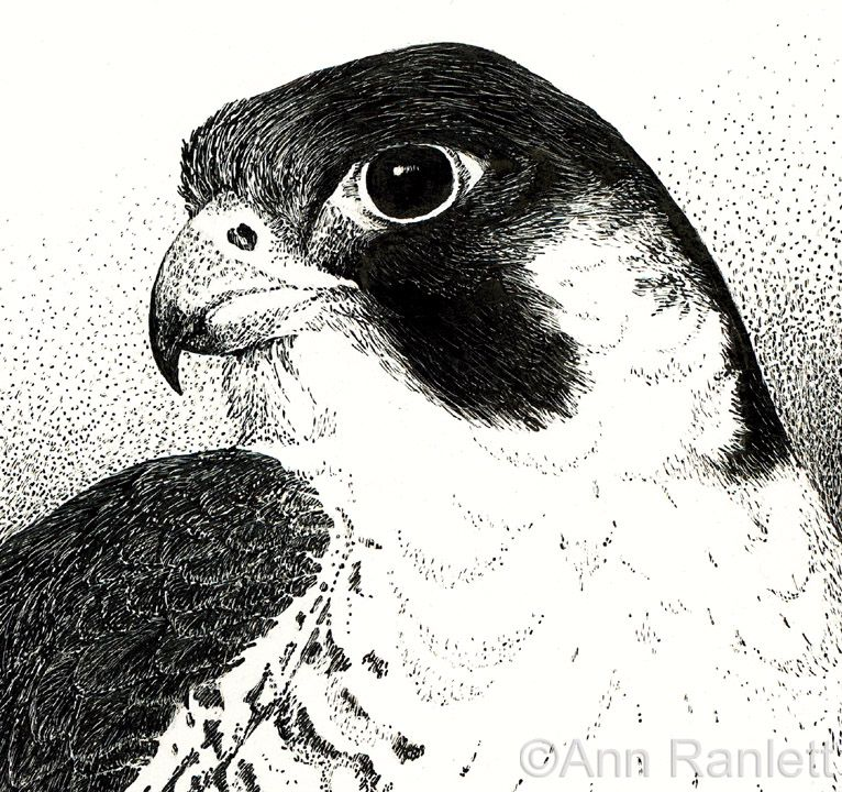 Peregrine Falcon Coloring Page Detail Of The Drawing I Decided