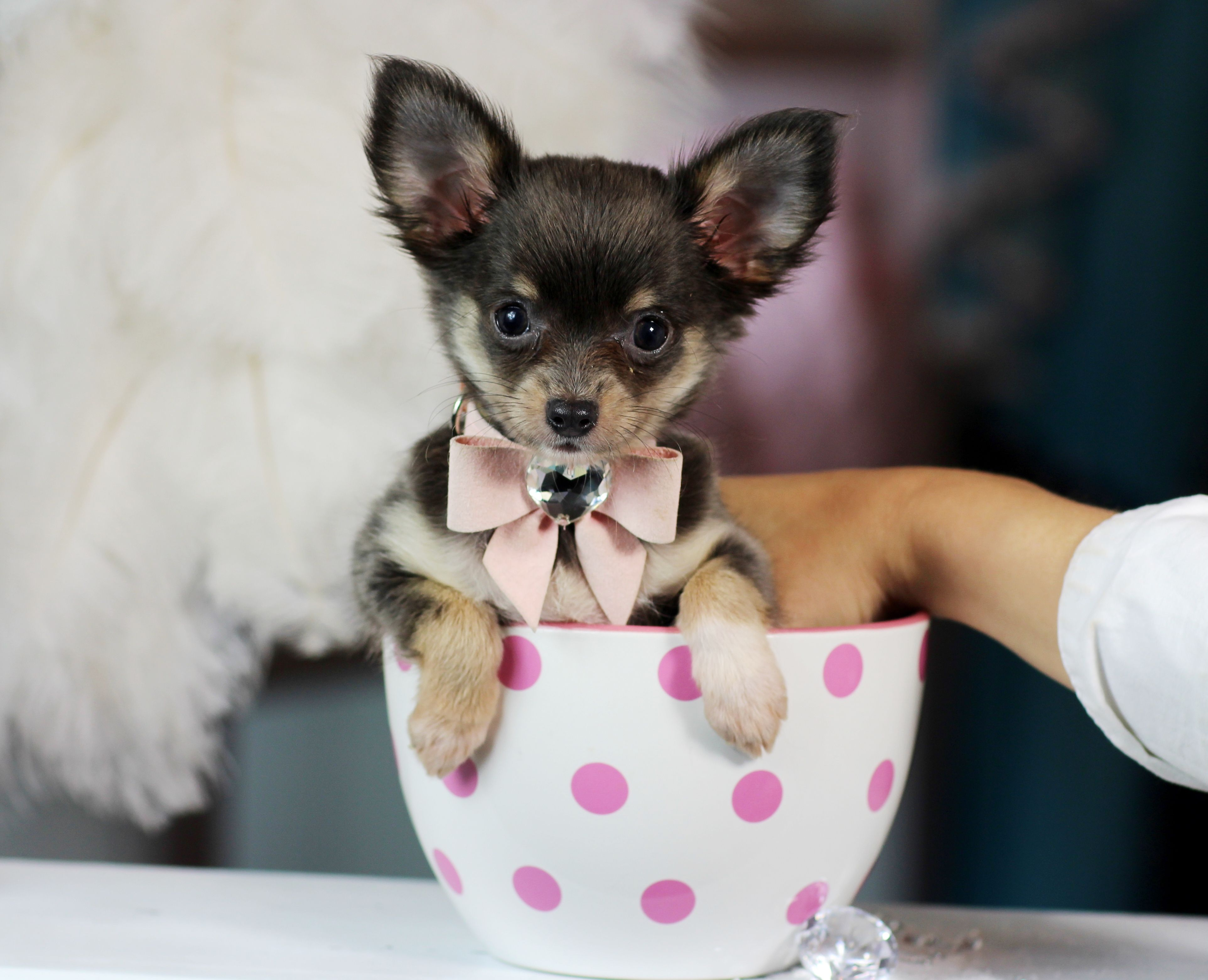 ♥♥♥ Teacup Chihuahua ♥♥♥ Bring This Perfect Baby Home Today