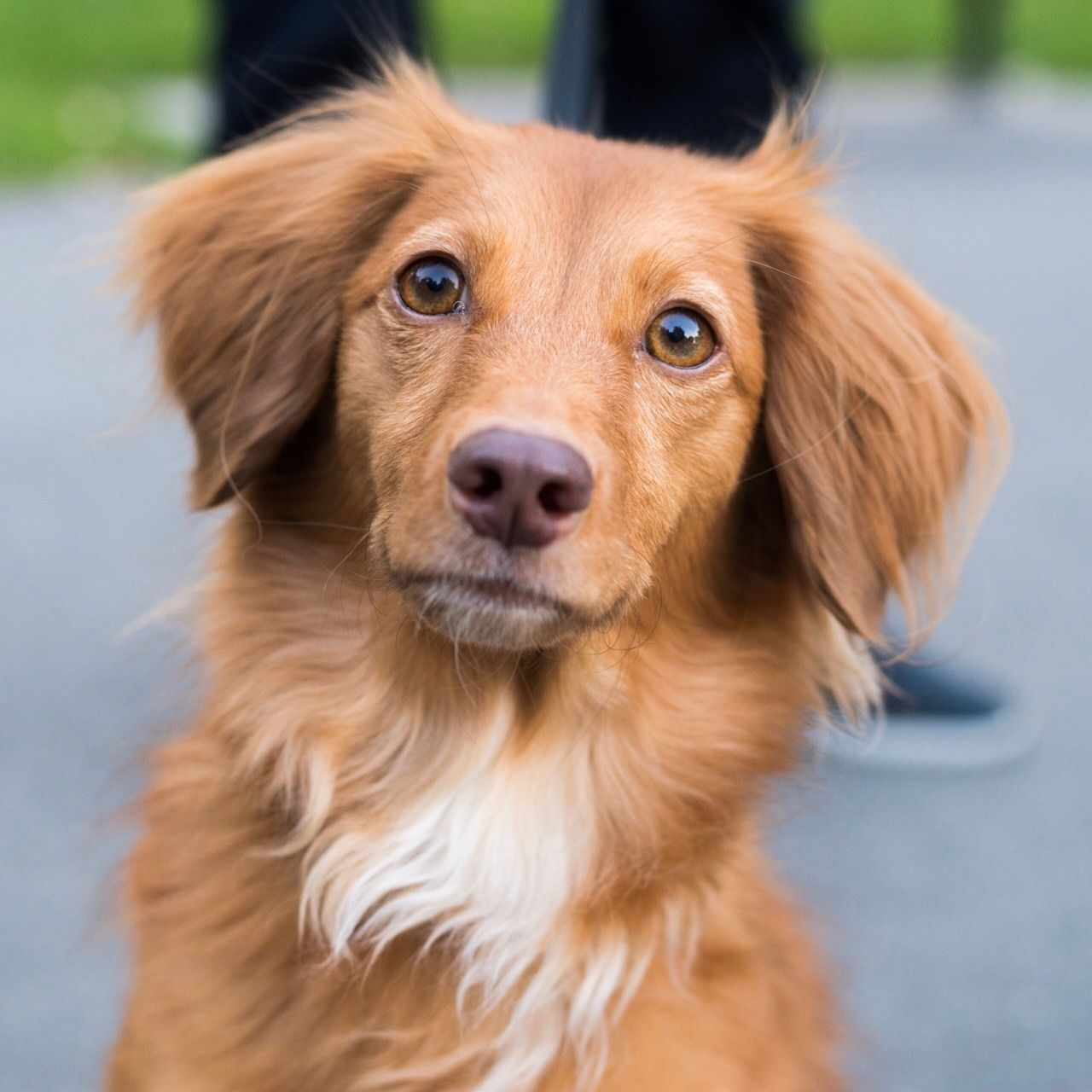 Babe Is An Adoptable Dog Nova Scotia Duck Tolling Retriever Corgi Mix Searching For A Forever Fam Dog Adoption Corgi Mix Nova Scotia Duck Tolling Retriever