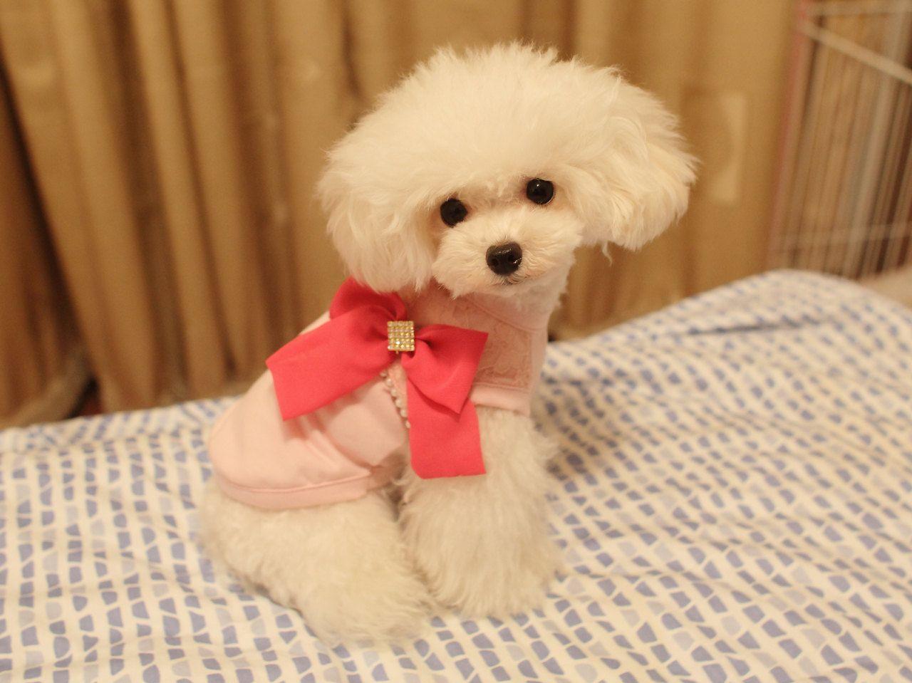 Poodle Couture Pet Clothes Pet Fashion Dog Wear