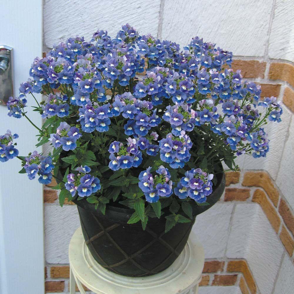 Nemesia Tanaman Bunga Begonia