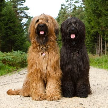 Here We Turn To The Stars To Get A Glimpse Into The Doggie Zodiac Of Why Are Dogs Are Who They Are Briard Dog Briard Dogs